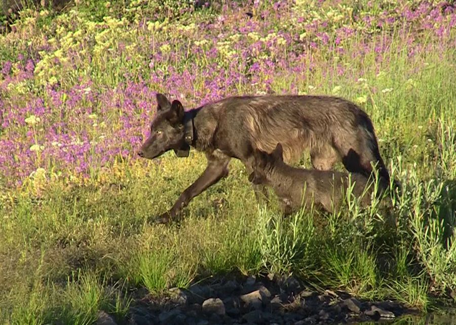 Wolf management review moves forward