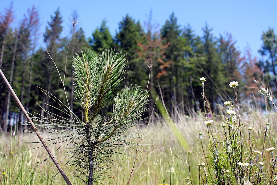 Ponderosa pine seedling and dying Douglas fir in background