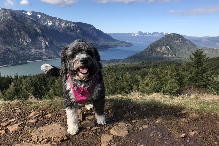 Daisy, the MEDIAmerica mascot, triumphs after climbing Dog Mountain on March 10 (before wildflower season sets in).