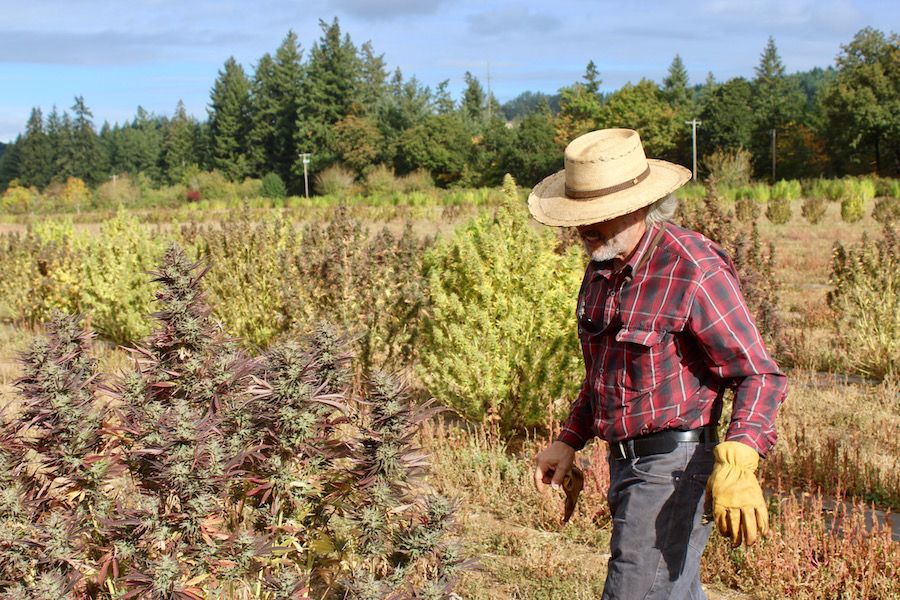 Peter Koch tends to a hemp plant at Whole Circle Farms near Silverton